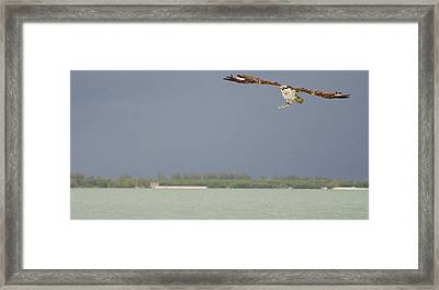 Osprey With Catch Framed Print by Mike Rivera