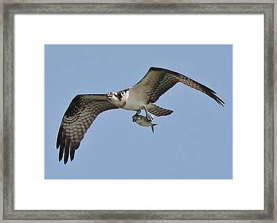 Osprey With The Catch Of The Day Framed Print by Paulette Thomas