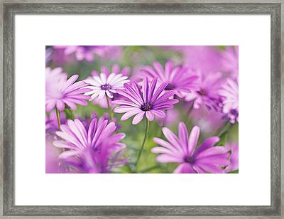 Osteospermum Flowers Framed Print by Frank Krahmer
