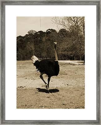 Ostrich Framed Print by Pamela Stanford