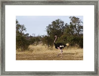 Ostrich Prance Framed Print by Marion McCristall