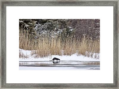 Otter In Winter Framed Print by Mark Duffy