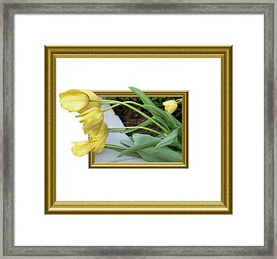 Out Of Frame Yellow Tulips Framed Print