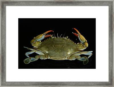 Overhead Close-up Of A Blue Crab Framed Print