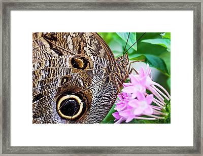 Owl Butterfly Framed Print by Daniel Osterkamp
