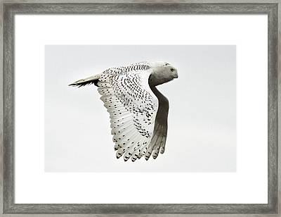 Owl In Flight Framed Print by Pierre Leclerc Photography