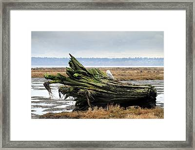 Owls At Boundary Bay Vancouver Framed Print by Pierre Leclerc Photography