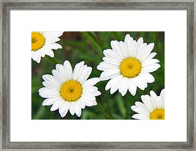 Ox-eye Daisy Framed Print