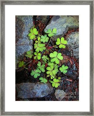 Oxalis Framed Print by Judi Bagwell