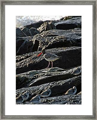 Oyster On The Rocks Framed Print
