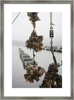 Oysters Pulled Up From A Farm Covered Framed Print