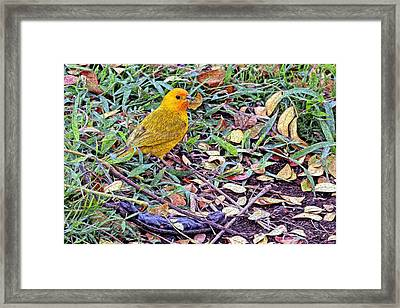 Pacific Golden Plover Framed Print by James Steele