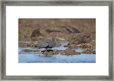 Pacific Reef - Egret Framed Print by Mona Pirih