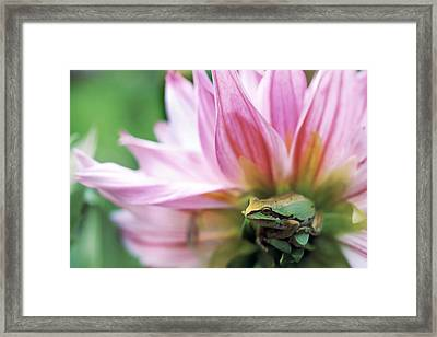 Pacific Tree Frog In A Dahlia Flower Framed Print