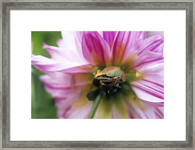 Pacific Treefrog On A Dahlia Flower Framed Print