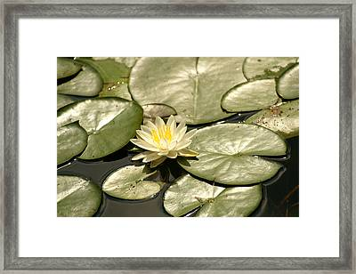 Pad Framed Print by Margaret Steinmeyer