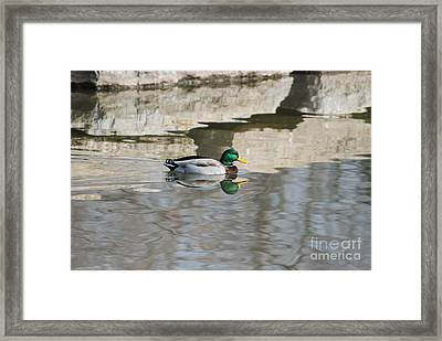 Framed Print featuring the photograph Paddling Mallard by Mark McReynolds
