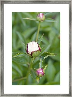 Paeonia Lactiflora 'shirley Temple' Framed Print