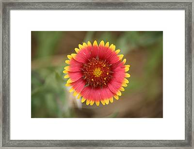 Painted Blanket Flower Framed Print by Donna  Smith