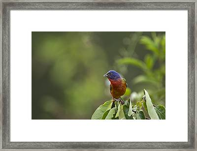 Painted Bunting - 1793 Framed Print