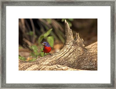 Framed Print featuring the photograph Painted Bunting On Log by Anne Rodkin