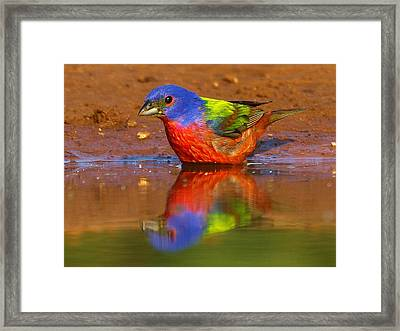 Framed Print featuring the photograph Painted Bunting Reflecting by Myrna Bradshaw