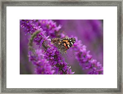 Painted Lady 2 Framed Print by Michel DesRoches