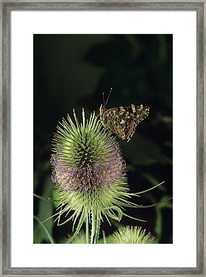 Painted Lady Butterfly Framed Print by David Aubrey