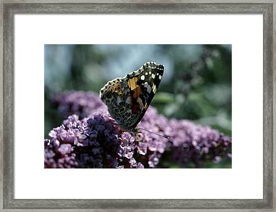 Painted Lady Butterfly Feeding Framed Print