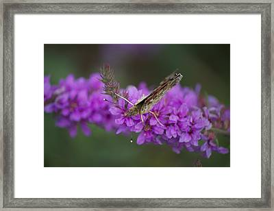 Painted Lady Looking Framed Print