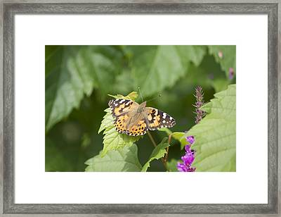 Painted Lady Framed Print by Michel DesRoches