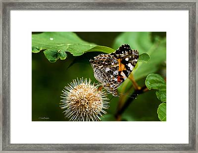 Painted Lady On Button Bush Framed Print by Travis Burgess