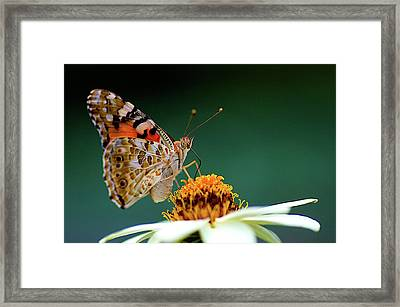 Painted Lady  Vanessa Cardui Framed Print by Jim Mayes