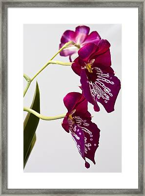 Painted  Orchid L Framed Print by Shirley Mitchell