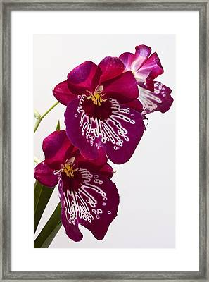 Painted Orchid Framed Print by Shirley Mitchell