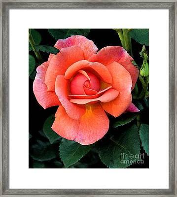 Framed Print featuring the photograph Painted Rose by Cindy Manero