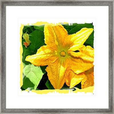 Painted Squash Blossoms Framed Print