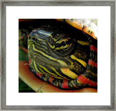 Painted Turtle Framed Print by Griffin Harris