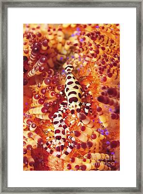 Pair Of Coleman Shrimp On A Red Framed Print
