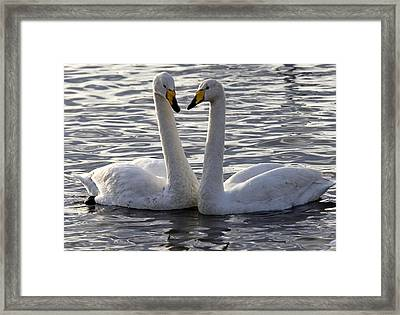 Pair Of Mute Swans Framed Print by Denise Swanson