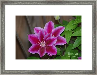 Pair Of Pink Clematis Framed Print by Mark McReynolds