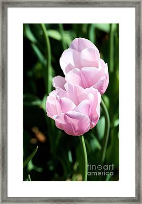 Pair Of Pink Tulips Framed Print