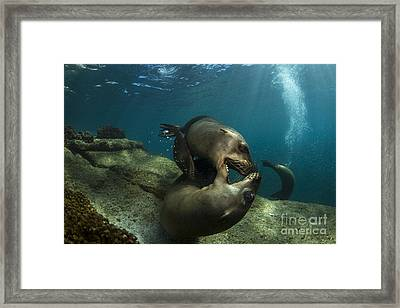 Pair Of Playful Sea Lions, La Paz Framed Print