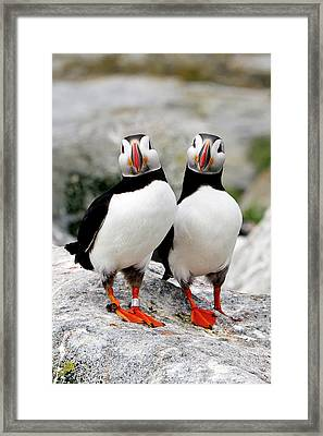 Pair Of Puffins Framed Print