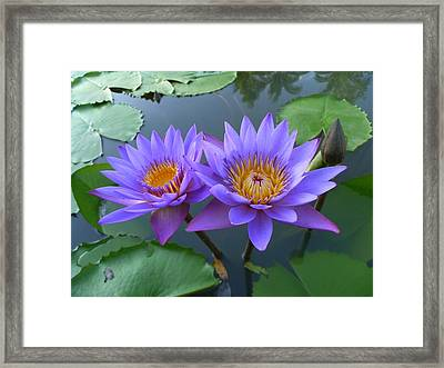 Pair Of Purple Lotuses Framed Print by Gregory Smith