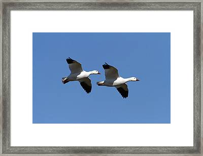 Pair Of Snow Geese In Flight. Chen Framed Print