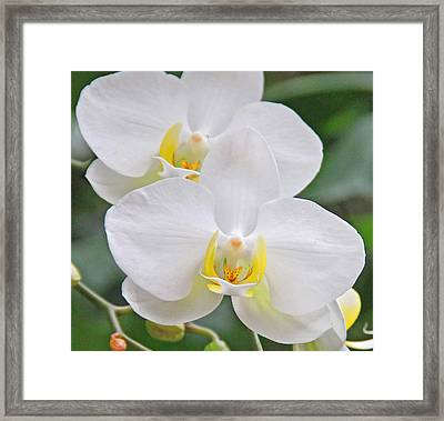 Pair Of White Orchids Framed Print