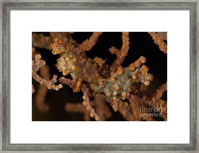 Pair Of Yellow Pygmy Seahorse, North Framed Print by Mathieu Meur