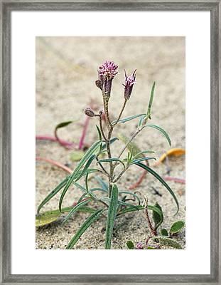 Palafoxia Arida Var. Arida Framed Print by Bob Gibbons