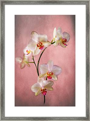 Pale Pink Orchid Spray Framed Print by Jacqi Elmslie